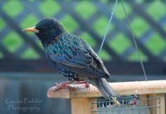 European Starling visits our suet feeder. Even though they are aggressive around the feeders they are actually a beautiful bird.