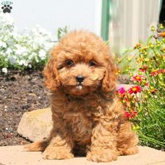 Chester, Cavapoo Puppy