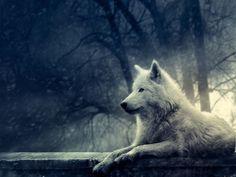 Loup blanc ...                                                       …