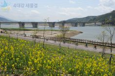 The beautiful rape blossoms  of Dalseong reservoir path at Nakdong river [ 낙동강 달성보 길가에 피어있는 아름다운 유채꽃]