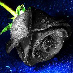 black rose seeds