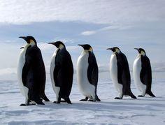 Google Image Result for http://2.bp.blogspot.com/-ruH1Bx2_JjA/T9LVY2ZmQlI/AAAAAAABwek/R8MqyXiemO0/s1600/Penguin.jpg