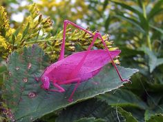 The bright pink katydid! A very rare but pretty bug...but remember, it's still a BUG!