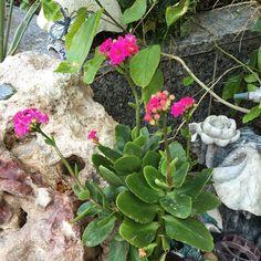 """""""زهور جميله وبلون اجمل ناعمه ..صغيره .. كثيره .. والاوراق خضراء خضراء خضراء ☺️ومتدرجه ومنتظمه .. وفوق هذا صبوره .. بل هي نوع من الصبار .. إنها عصارية…"""""""