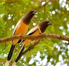 Rufous treepies (a corvid) in India Photo by Venugopal Bsn