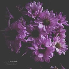 Veronica, Chrysanthemums, Flower Art, Art Photography, Bloom, Purple, Instagram Posts, Flowers, Plants