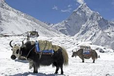 The 'Yak Wool' Deception Thing 1, Camels, How To Train Your, Himalayan, School Fun, The Great Outdoors, Elephant, Asia, Creatures