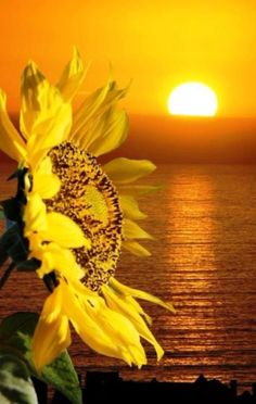 Sunflower at sunset Happy Flowers, Love Flowers, Yellow Flowers, Beautiful Flowers, Sun Flowers, Sunflower Garden, Sunflower Art, Sunflower Fields, Sunflower Quotes