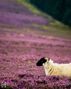 theenchantedwind:   	Cruising through purple fields by Jose M. Vazquez    	Via Flickr: 	A sheep walking through heather moorland in the Peak District.