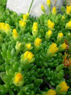Jewel of the desert delosperma (ice plant)
