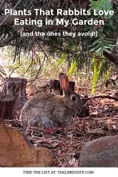 There is nothing more annoying than filling your garden with beautiful plants only to have them become rabbit food! So I've compiled a list of plants that rabbits like to eat as well as those that they avoid. thelinkssite.com #rabbitresistant #rabbitsinthegarden #gardening #gardenpests