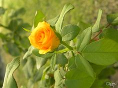 Rosa de verão
