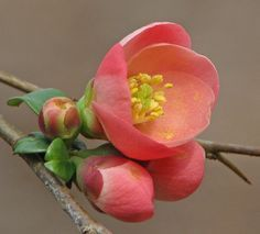 Flowering quince blossom & buds – NEW - Blumen Flowers Nature, Exotic Flowers, Spring Flowers, Wild Flowers, Beautiful Flowers, Flower Close Up, My Flower, Flower Art, Ikebana