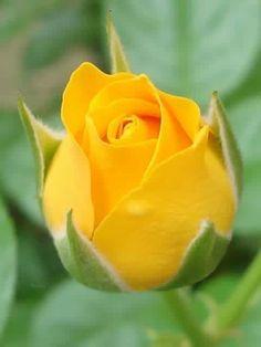 Pin By Dumiliana Corona On Cvety Amazing Flowers Beautiful Rose Flowers Roses Only