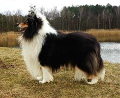 TRI COLOR ROUGH COAT COLLIE <3 LOOKS MUCH LIKE OUR MUCH MISSED AND LOVED PIPER <3 <3 <3 <3 <3 <3 <3 XOXO