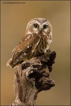 Northern Saw-Whet Owl (Aegolius acadicus). This nocturnal owl has a characteristic call Owl Photos, Owl Pictures, Nocturne, Saw Whet Owl, Grand Duc, Funny Owls, Beautiful Owl, Owl Bird, Snowy Owl