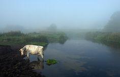 Vaca no rio Waveney de madrugada, em uma manhã nublada em Suffolk rural, 31 de agosto de 2008.