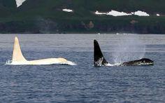 White Orca.