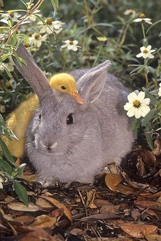 Farm animals - bunny and duck Cute Creatures, Beautiful Creatures, Animals Beautiful, Cute Baby Animals, Animals And Pets, Funny Animals, Baby Bunnies, Cute Bunny, Baby Ducks