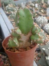 1197  EUPHORBIA makallensis  h5,5cm. cactus suculenta , no ariocarpus