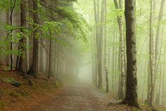 Wall Mural Forest Path image 1 by Rebel Walls Forest Mural, Forest Path, Magic Forest, Forest Wallpaper, Of Wallpaper, Photos Panoramiques, Australia Wallpaper, White Oak Tree, Rebel