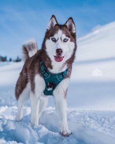 Life with a Siberian husky Cute Puppies, Cute Dogs, Animals And Pets, Cute Animals, Cute Dog Pictures, Snow Dogs, Sea Waves, Husky Puppy, Beautiful Dogs