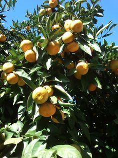 mandarinas de Bembrive