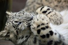 SNOW LEOPARDS....also called the Ounce....live on mountain cliffs and rocky slopes of Central Asia....averages 2.5 - 5 feet long with a 3-4 foot tail...weighs 60 and 120 pounds....its wide, furry feet act as snow shoes and its tail as a blanket....an estimated 4,000 - 6,500 in the wild
