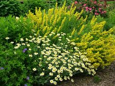 """Better Together: """"Screaming Yellow"""" Baptisias, """"Susanna Mitchell"""" marguerite (Anthemis)"""
