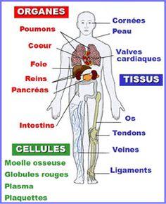 tissus et les organes que l'on greff