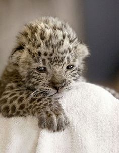 baby Leopard | 10 Cute Pictures of Baby Snow Leopards!