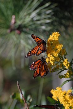 Monarch butterflies resting on bright yellow goldenrod flowers with green leaves and background of green pine needles at Long Beach Island, New Jersey. Nature Aesthetic, Aesthetic Images, Butterflies Flying, Beautiful Butterflies, Monarch Butterfly, Blue Butterfly, Butterfly Flowers, Aesthetic Iphone Wallpaper, Aesthetic Wallpapers