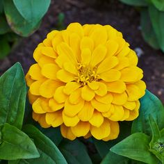 Canary Bird Zinnia Seeds -Zinnia elegans As bright and lively as the lovely birds with whom they share a moniker, Heirloom Canary Bird Zinnias are a cheerful yellow that's sure to brighten up your garden!A favorite of crafters, florists and gardeners alike, Zinnias are easy to grow annuals, preferring warm weather and full sun!