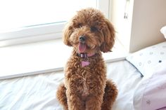 miniature poodle, apricot poodle, one year old poodle
