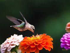 Zinnia Flower Hummingbird Hummingbird Print by ChristinaRolloArt