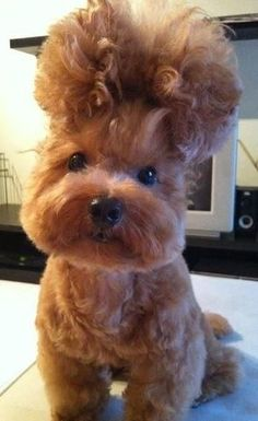 My new hair style. Like it. ❤ Haha #dog_puppy #love #fun #hairstyle #naturecuties #cutepic #nicepic  pinterest @lupsona