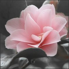 Camellia japonica (the Japanese camellia) is one of the best known species of…
