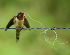 A Barn Swallow finds some nesting material. Creative little guys and gals!
