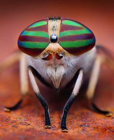 Striped Horsefly, Tabanus lineola - image credit Thomas Shahan