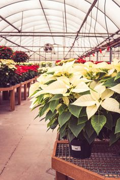 K&W Greenery in Janesville, WI is filled with beautiful varieties of poinsettias during the holidays.