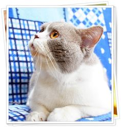 Lilac and White British Shorthair