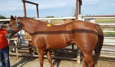 #9375 - 7 yr old chestnut OTTB, 16 hh. Pony horse career. Very handsome, and gentle, too! Price: $850 PayPal - mcbarronhorses@yahoo.com - choose Goods & Services option, and include the assigned # of the equine you're purchasing. Also be sure to include your name, email address, and phone #. Echecks not accepted. Location: Kaufman County, Texas (Forney) Shipping Deadline: Sunday, Oct 4th - 4 pm