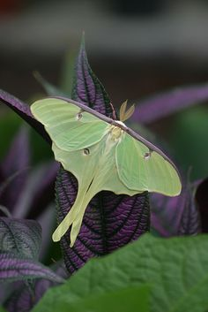 Luna moths Actias luna | Flickr - Photo Sharing!
