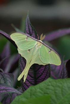 Luna moths Actias luna | Flickr - Photo Sharing!
