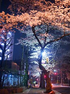 a beautiful street illuminated at night with the Cherry Blossom trees - a beautiful image Tree Wallpaper Bedroom, Birch Tree Wallpaper, Family Tree Photo, Photo Tree, Willow Tree Meaning, Trees Tumblr, Palm Trees Garden, Cherry Blossom Japan, Cherry Blossoms