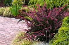 Wonderful Evergreen Grasses Landscaping Ideas 11 image is part of 100 Wonderful Evergreen Grasses Landscaping Ideas gallery, you can read and see another amazing image 100 Wonderful Evergreen Grasses Landscaping Ideas on website Shade Evergreen Shrubs, Red Shrubs, Evergreens For Shade, Evergreen Landscape, Dwarf Shrubs, Shade Shrubs, Shade Garden Plants, Garden Shrubs, Shade Perennials