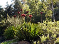 Doryanthes excelsa National Botanic Gardens