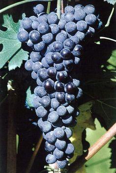 Grappolo d'uva Nebbiolo Roero rosso Roero Arneis DOCG Il vino Roero (Roero rosso, Roero Arneis, Roero Arneis spumante) viene prodotto nella zona omonima, in provincia di Cuneo (Piemonte), sulle assolate colline che guardano il Tanaro. Tale zona comprende l'intero territorio del comune di Canale, Corneliano d'Alba, Piobesi d'Alba, Vezza d'Alba ed in parte quello dei comuni di Baldissero d'Alba, Castagnito, Castellinaldo, Govone, Guarene, Magliano Alfieri, Monta', Montaldo Roero, Monteu Roero…
