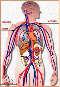 Aparato circulatorio                                                                                                                                                                                 Más