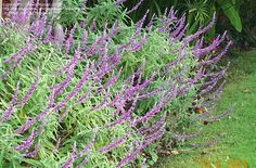 I was recently introduced to salvia leucantha, aka Mexican bush sage, and it has quickly become one of my favorites!